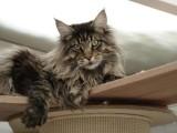 杭州英短貓出售 自家繁育 純種保健康 低價熱銷