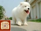 武汉出售纯种**微笑天使澳版大毛量萨摩耶幼犬 活泼可爱