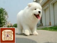 武汉出售纯种顶级微笑天使澳版大毛量萨摩耶幼犬 活泼可爱