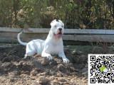 哪里有卖杜高犬 杜高犬多少钱 杜高犬图片