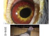 出售各种信鸽,超级种鸽。