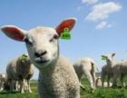 猪牛羊耳标猪牛羊畜牧耳标动物电子耳标电子耳标物联处理方案