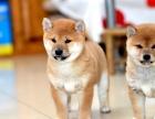 淄博哪里有卖柴犬的柴犬性格柴犬温顺吗日本柴犬 小柴犬