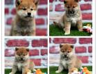 正宗日系柴犬出售,多只可选,签合同包健康