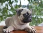 不卖病狗 不卖串 健康保终身 巴哥多只可选疫苗齐全