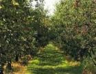 七十亩大樱桃园