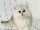 苏格兰折耳猫 幼猫出售血统纯正包健康