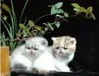 自家繁育纯血加菲猫幼猫多只弟弟妹妹都有可办理证书欢
