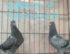 出售信鸽种鸽幼鸽