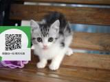 柳州在哪里卖健康纯种宠物猫 柳州哪里出售美短