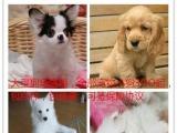 诚信狗场直销拉布拉多及各种宠物小狗,包纯种包健康可签保障协议