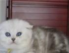 v 英短银渐层 蓝猫蓝白金吉拉 加菲布偶