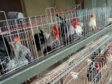 元宝鸡观赏鸡专业养殖出售
