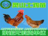 想买土鸡苗当选东升禽苗孵化公司 黑瑶鸡苗批发