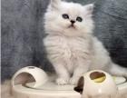 专业猫舍出售 超萌纯种金吉拉/幼猫 航运送货