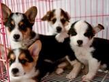 重庆出售 柯基犬,疫苗驱虫已做视频
