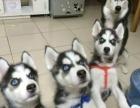 纯种哈士奇幼犬 保品质 保健康 保成活 热卖中