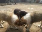 狗市可以买到纯种苏格兰牧羊犬吗 多少钱一只