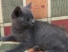 两个月左右的蓝猫