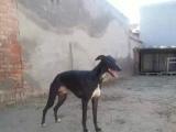 鞍山选血统灵缇格力犬马犬杜高比特马犬到山东诚信猎犬驯养基地