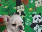 法国斗牛犬幼犬出售