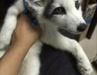 深圳宠物狐狸多少钱一只