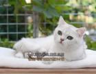 青岛买猫 正规养殖场出售英国短毛猫蓝白渐层 纯种健康价格优惠