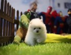 石家庄哪里有宠物狗卖哈多利版球型博美宝宝 可爱至极