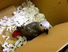 出售金刚鹦鹉 灰鹦鹉 葵花鹦鹉 折中鹦鹉