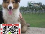 佛山松狮图片价格 松狮幼犬宠物狗养殖基地 松狮领养赠送