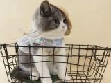 布偶幼纯种宠物猫幼崽金吉拉英短蓝猫蓝白美短银渐层