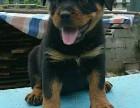纯种罗威纳犬出售价格多少钱一只