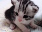 美短加白虎斑猫猫。价钱可议