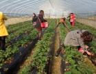 保仔草莓 采摘园 郴州草莓采摘首选