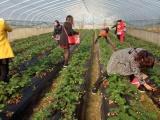 保仔草莓 采摘园 郴州草莓采摘