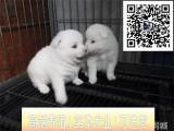 精品银狐犬舍丨纯种日本银狐犬丨协议保障 官方质保