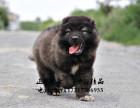 高加索顶级赛级犬全国包运全国发货