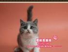 圆滚滚的包子脸英短猫蓝白双色小mm-思晴名猫坊