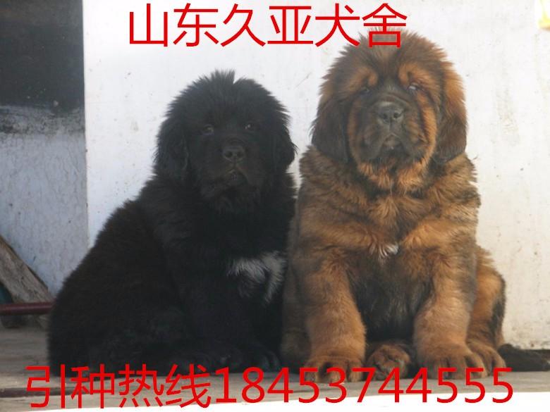 马犬 猎犬 卡斯罗 罗威纳 杜高犬 杜宾犬专业有保障