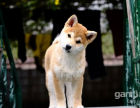 日本柴犬 小柴犬 忠诚护主 疫苗驱虫做齐