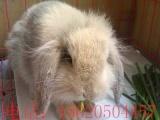 宠物迷你兔图片