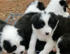 边境牧羊犬高智商,小狗品质也很好的。