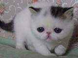 纯种加菲猫圣梵净梵虎斑黑白红白蓝白幼崽/多色可选/包纯种健康