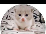 家养英国短毛猫宝宝