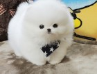 哈多利球体博美 茶杯俊介犬
