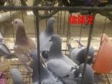 肉鸽子多少钱一只哪里有买的