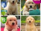 成都纯种金毛幼犬出售 保证健康 售后完美放心选购