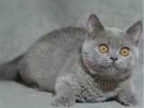 上海寶山貓舍直銷純種藍貓貓舍特惠