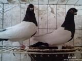 瓦灰种鸽肉鸽出售