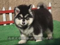 帅气巨型阿拉斯加犬幼崽 深圳买阿拉斯加犬就选自家养殖场 健康